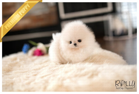 (RESERVED by Washington) Nugget - Pomeranian. M - Rolly Teacup Puppies