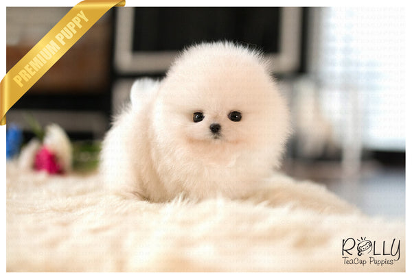 (Purchased by Washington) Nugget - Pomeranian. M - Rolly Teacup Puppies