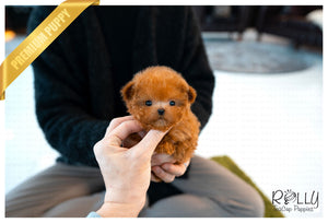 (Purchased by Luke) Nugget - Poodle. M - Rolly Teacup Puppies