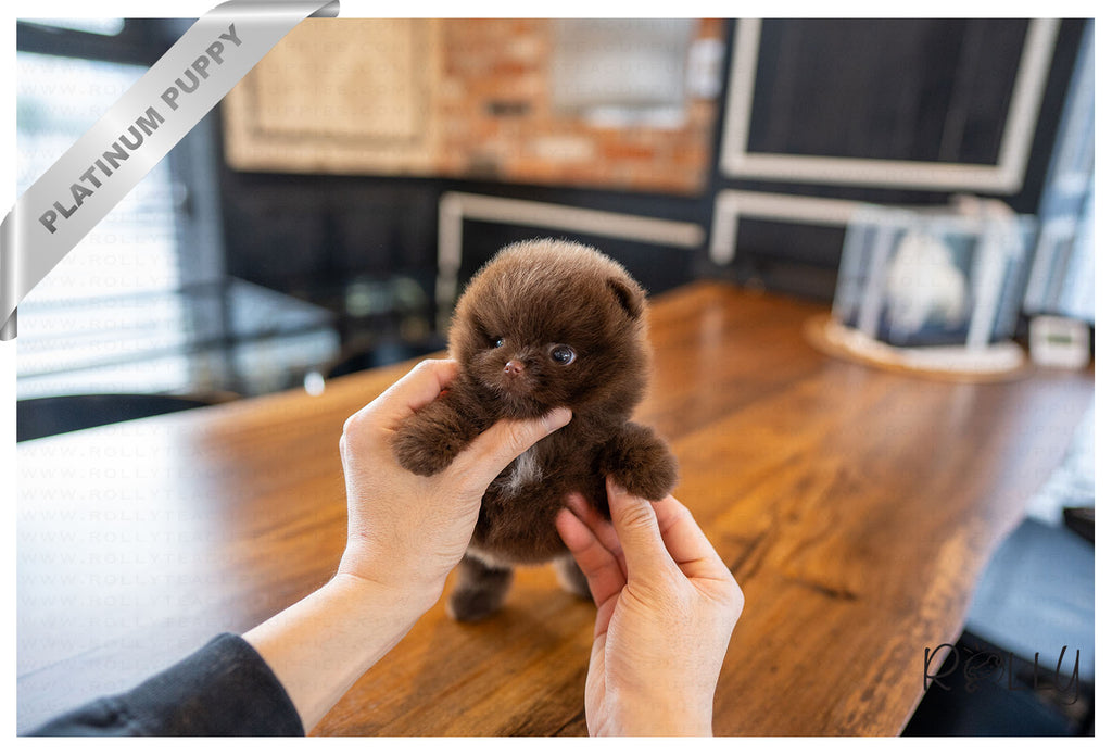 (Purchased by Trujillo) NUTELLA - Pomeranian. M - Rolly Teacup Puppies - Rolly Pups