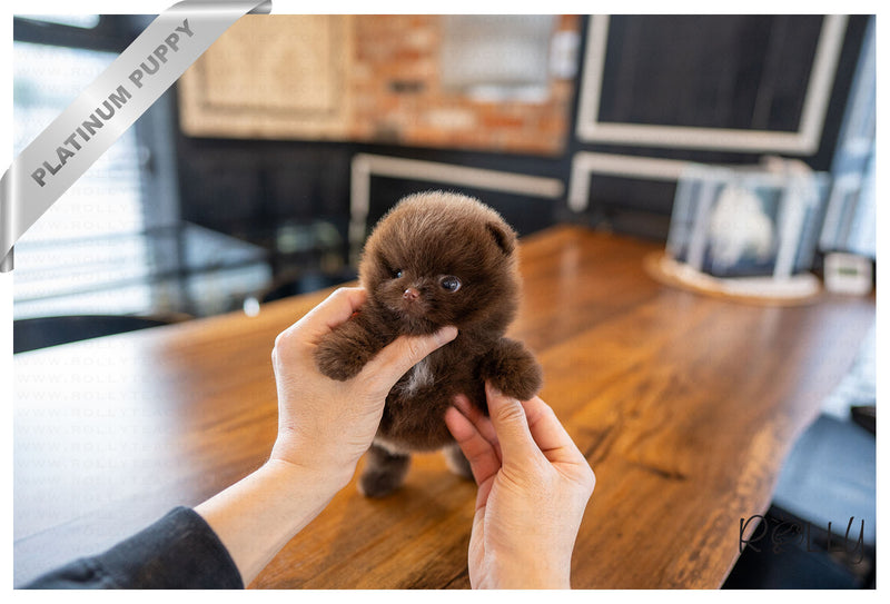 (Purchased by Trujillo) NUTELLA - Pomeranian. M - Rolly Teacup Puppies