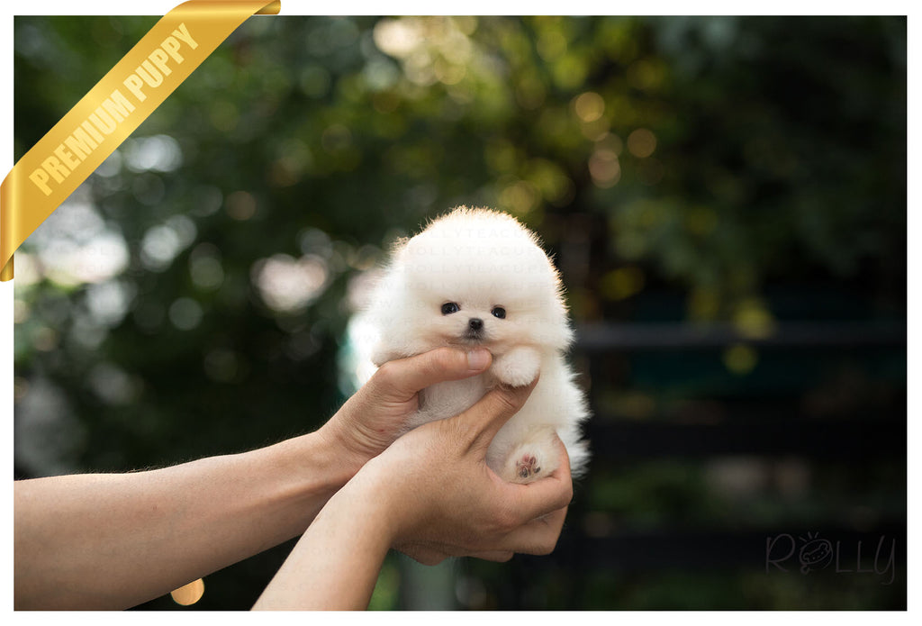(Purchased by Garza) Nutmeg - Pomeranian. M - Rolly Teacup Puppies