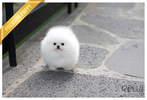 (Purchased by Gonzalez) Orion - Pomeranian. M - Rolly Teacup Puppies