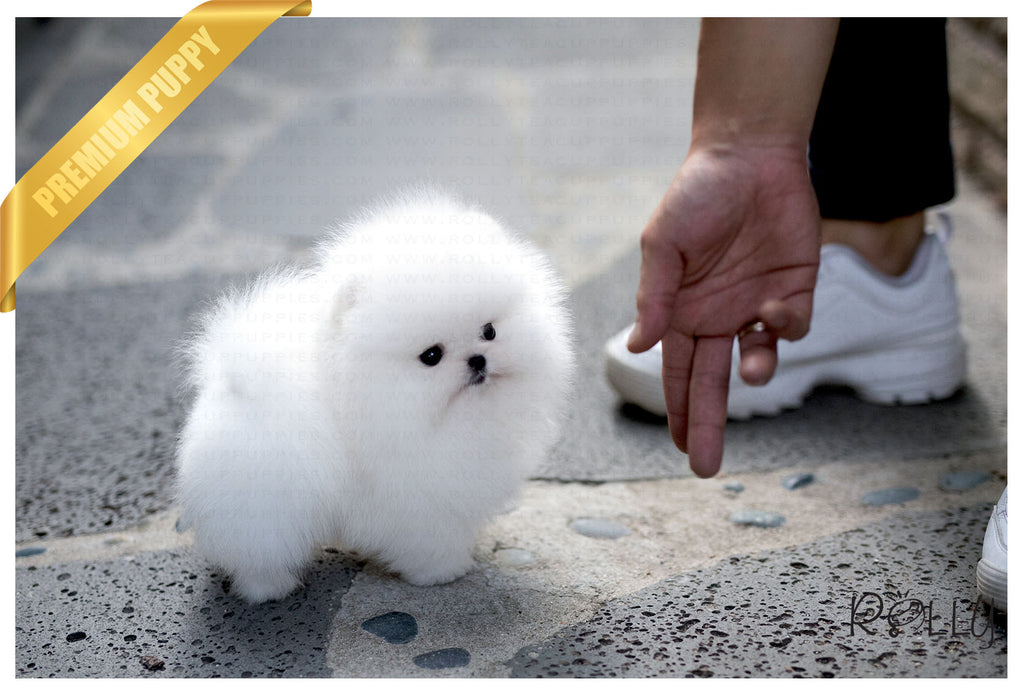 (RESERVED by Gonzalez) Orion - Pomeranian. M