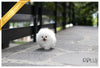 (Purchased by Gonzalez) Orion - Pomeranian. M - Rolly Teacup Puppies - Rolly Pups