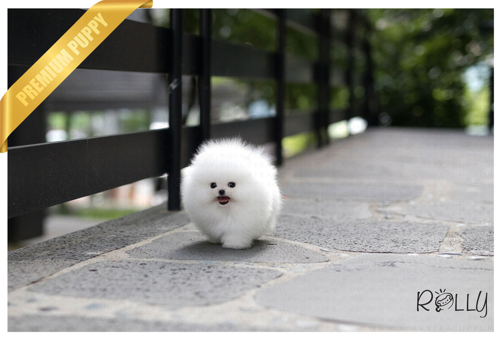 (Purchased by Gonzalez) Orion - Pomeranian. M - ROLLY PUPS INC