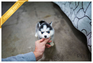 (Reserved by Campo) Oakley - Pomsky. M - Rolly Teacup Puppies