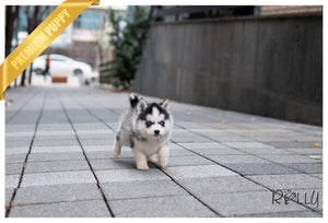 (Purchased by Campo) Oakley - Pomsky. M - Rolly Teacup Puppies