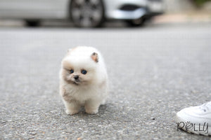 (Purchased by Cornell) Ocean - Pomeranian. M - Rolly Teacup Puppies