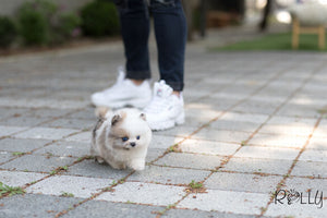 (Purchased by Cornell) Ocean - Pomeranian. M - Rolly Teacup Puppies - Rolly Pups