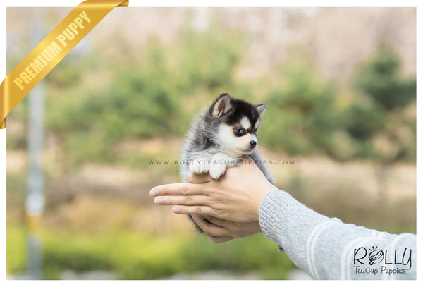 (SOLD to Kaufman) Ocean - Pomsky. M - Rolly Teacup Puppies