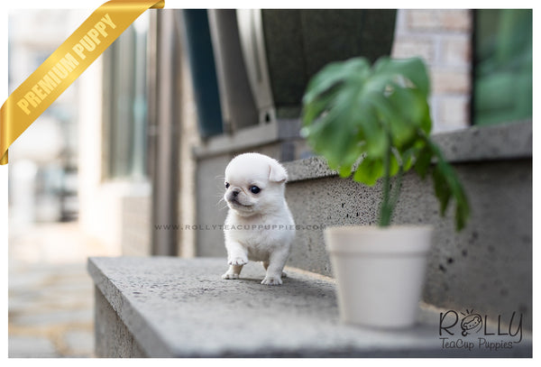 (SOLD to Hill) Olaf - Pug. M - Rolly Teacup Puppies