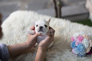 (Purchased by Pena) Olef - French Bulldog. M - Rolly Teacup Puppies
