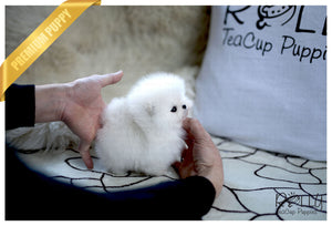 (Purchased by Evans) Olef - Pomeranian. M - Rolly Teacup Puppies