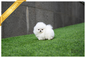 (Purchased by Grillis) Olef - Pomeranian. M - Rolly Teacup Puppies