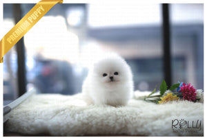 (Purchased by Evans) Olef - Pomeranian. M - Rolly Teacup Puppies - Rolly Pups