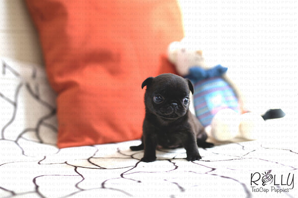 (SOLD to Shaw) Olive - Pug. F - Rolly Teacup Puppies