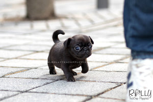 (SOLD to Hattat) Olive - Pug. F - Rolly Teacup Puppies - Rolly Pups
