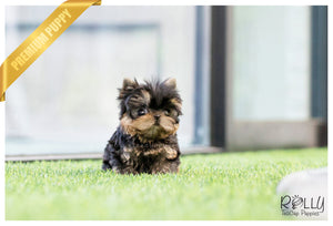 (SOLD to Martell) Olive - Yorkshire Terrier. F - Rolly Teacup Puppies