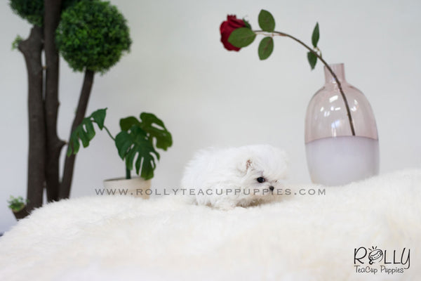 (SOLD to Rolle) Oliver - Maltese. M - Rolly Teacup Puppies