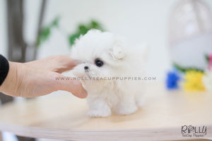 (SOLD to Rolle) Oliver - Maltese. M - Rolly Teacup Puppies - Rolly Pups