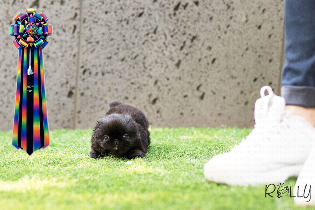 (Purchased by Garay) Oliver - Pekingese. M - Rolly Teacup Puppies