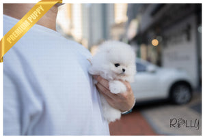 (RESERVED by Marsh) Oliver - Pomeranian. M - Rolly Teacup Puppies - Rolly Pups