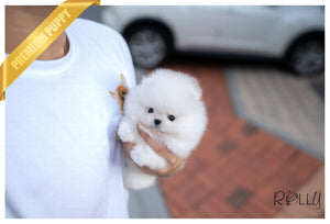 (PURCHASED by FRACCARI) OLIVER - Pomeranian. M - Rolly Teacup Puppies - Rolly Pups