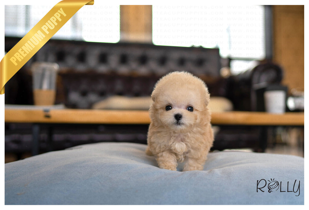 OLIVER - Poodle. M - ROLLY PUPS INC