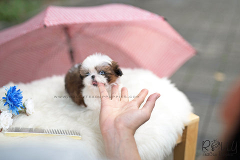 (SOLD to Amitai) Oliver - Shih Tzu. M