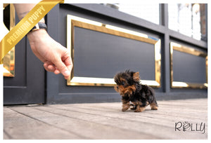 (PURCHASED by Porraz) OLIVER - Yorkie. M - Rolly Teacup Puppies - Rolly Pups