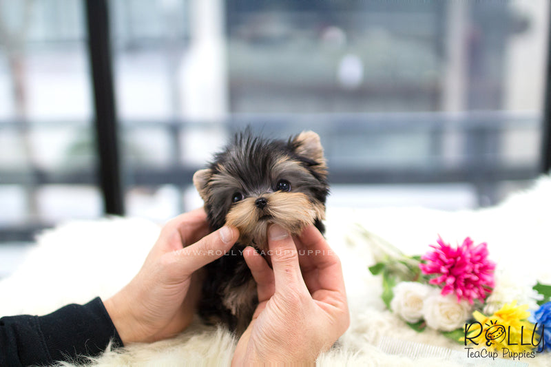 (SOLD to Basta) Oliver - Yorkie. M - Rolly Teacup Puppies - Rolly Pups