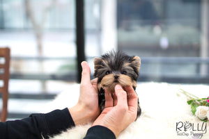 (SOLD to Basta) Oliver - Yorkie. M - Rolly Teacup Puppies