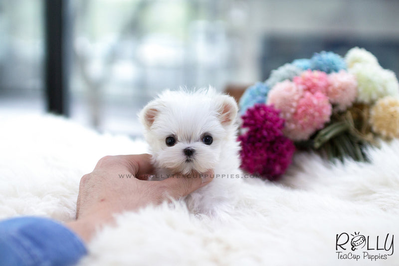 (SOLD to Nelli) Ollie - Maltese. M - Rolly Teacup Puppies - Rolly Pups