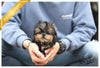 (Purchased by Ramnarong) Ollie - Yorkie. M - Rolly Teacup Puppies