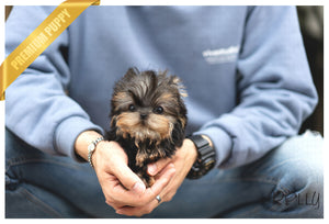 (Reserved by Ramnarong) Ollie - Yorkie. M - Rolly Teacup Puppies