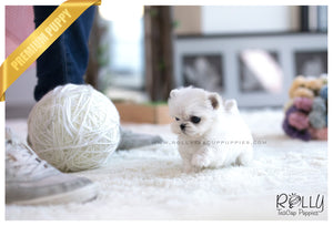 (SOLD to Sioufi) Ona - Maltese. F - Rolly Teacup Puppies