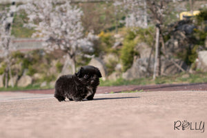 (Purchased by Martin)ONYX - Pekingese. F - Rolly Teacup Puppies