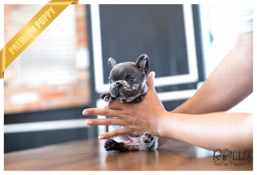 products tagged french bulldog rolly teacup puppies