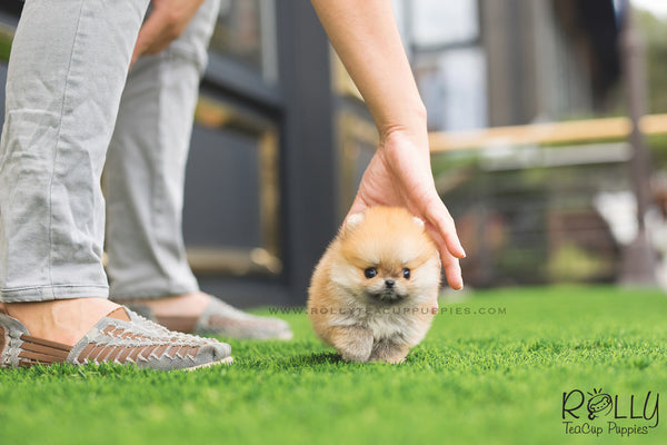 (SOLD to Perry) Orange Caramel - Pomeranian. M