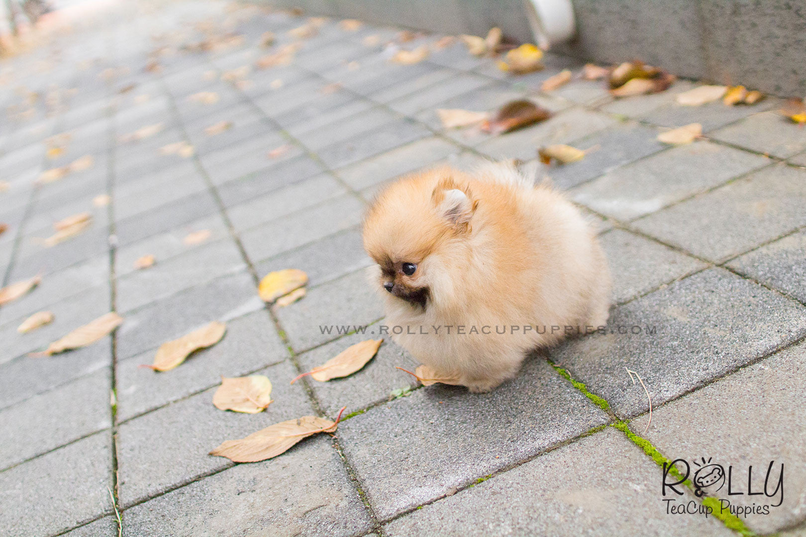Dexter - Pomeranian  M– Rolly Teacup Puppies