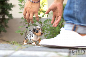 (SOLD to Sawiris) Oreo - Dachshund. M - Rolly Teacup Puppies