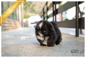 (Purchased by Huff) Oreo - Pomeranian. F - Rolly Teacup Puppies