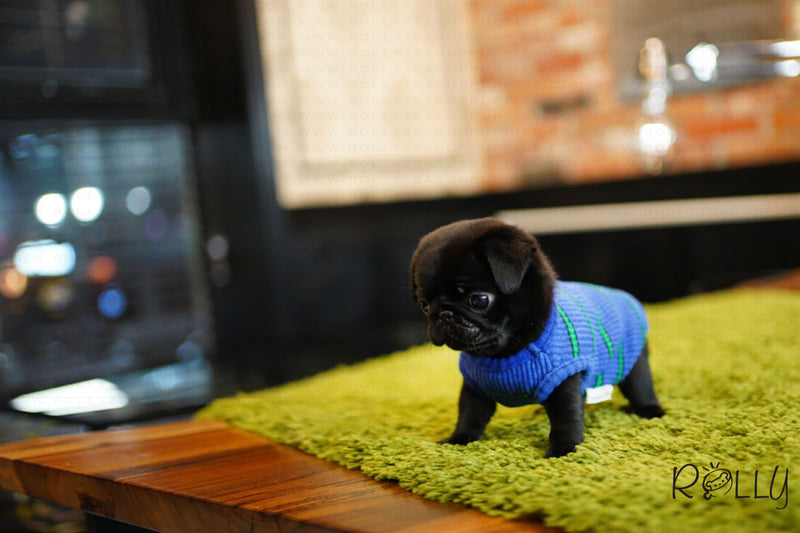 (Purchased by Miyabi) Oreo - Pug. M - Rolly Teacup Puppies