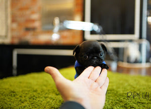 (Purchased by Miyabi) Oreo - Pug. M - Rolly Teacup Puppies - Rolly Pups