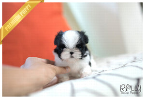 (SOLD to White) Oreo - Shih Tzu. F - Rolly Teacup Puppies