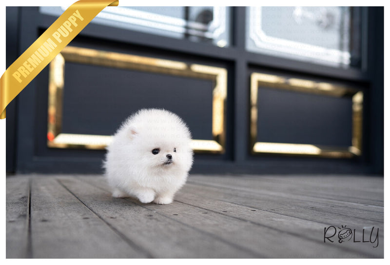 (RESERVED by Peraza) PACO - Pomeranian. M - ROLLY PUPS INC