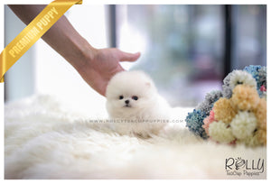 (SOLD to Chow) Polar Bear - Pomeranian. M - Rolly Teacup Puppies