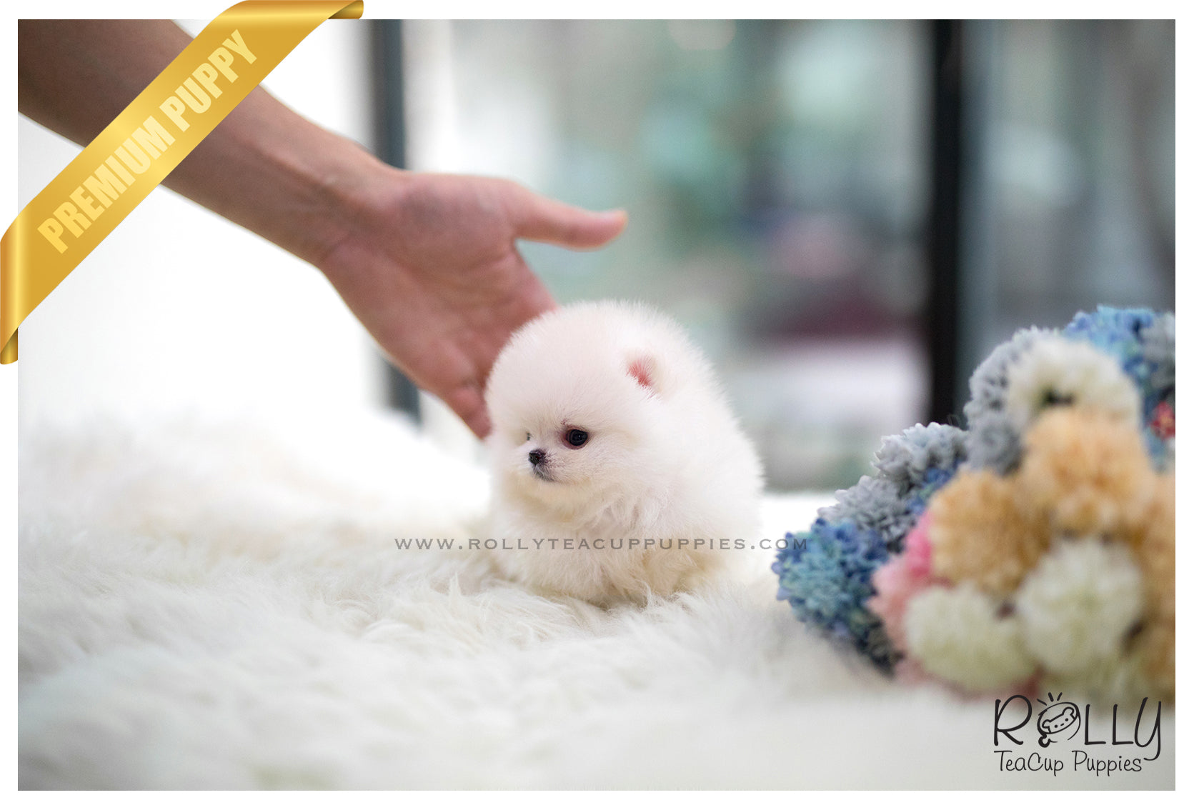 Sold To Chow Polar Bear Pomeranian M Rolly Teacup Puppies