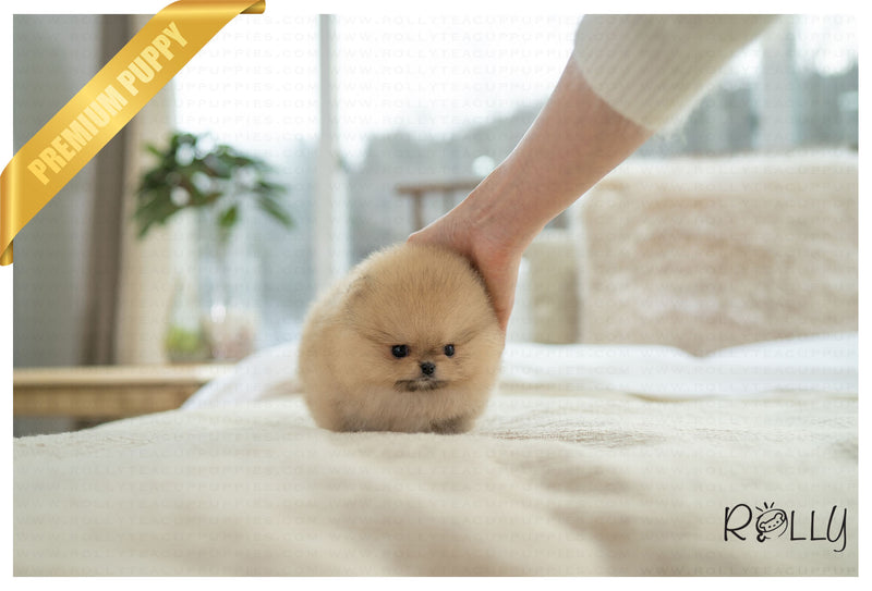 (PURCHASED by Hernandez) P.BUTTER - Pomeranian. M - ROLLY PUPS INC